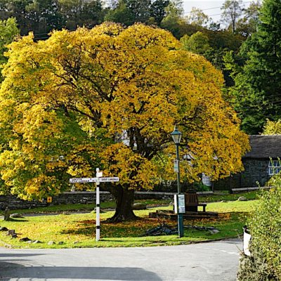 ELTERWATER MAPLE - Bill Birketts Lakeland Walks