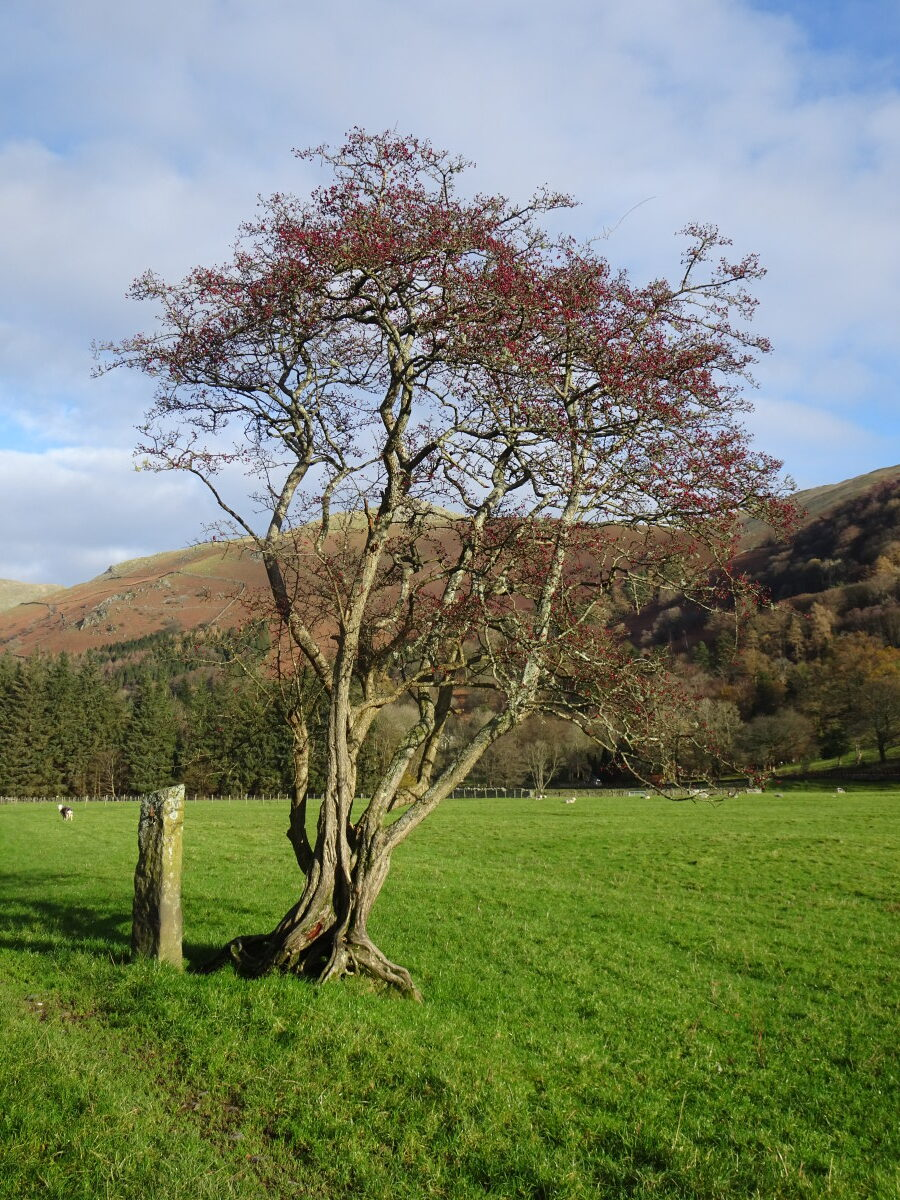 Hawthorn with berries. Grasmere Meadows. Taken 19/11/2020 at 11:47am.