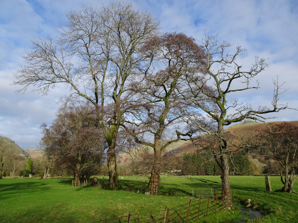 Three trees, Grasmere Meadows. Leafless oak, right. Alder with purple buds, centre. Naked ash, left.