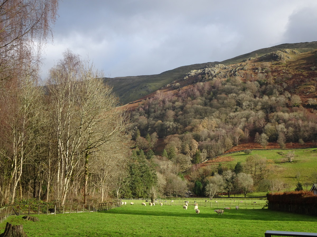 Next to the River Rothay silver birch stand with dark purple buds and brilliant silver white trunks. On the hillside beyond,  above Forest Side, they can plainly be seen again defining  the upper left edge of the wood.