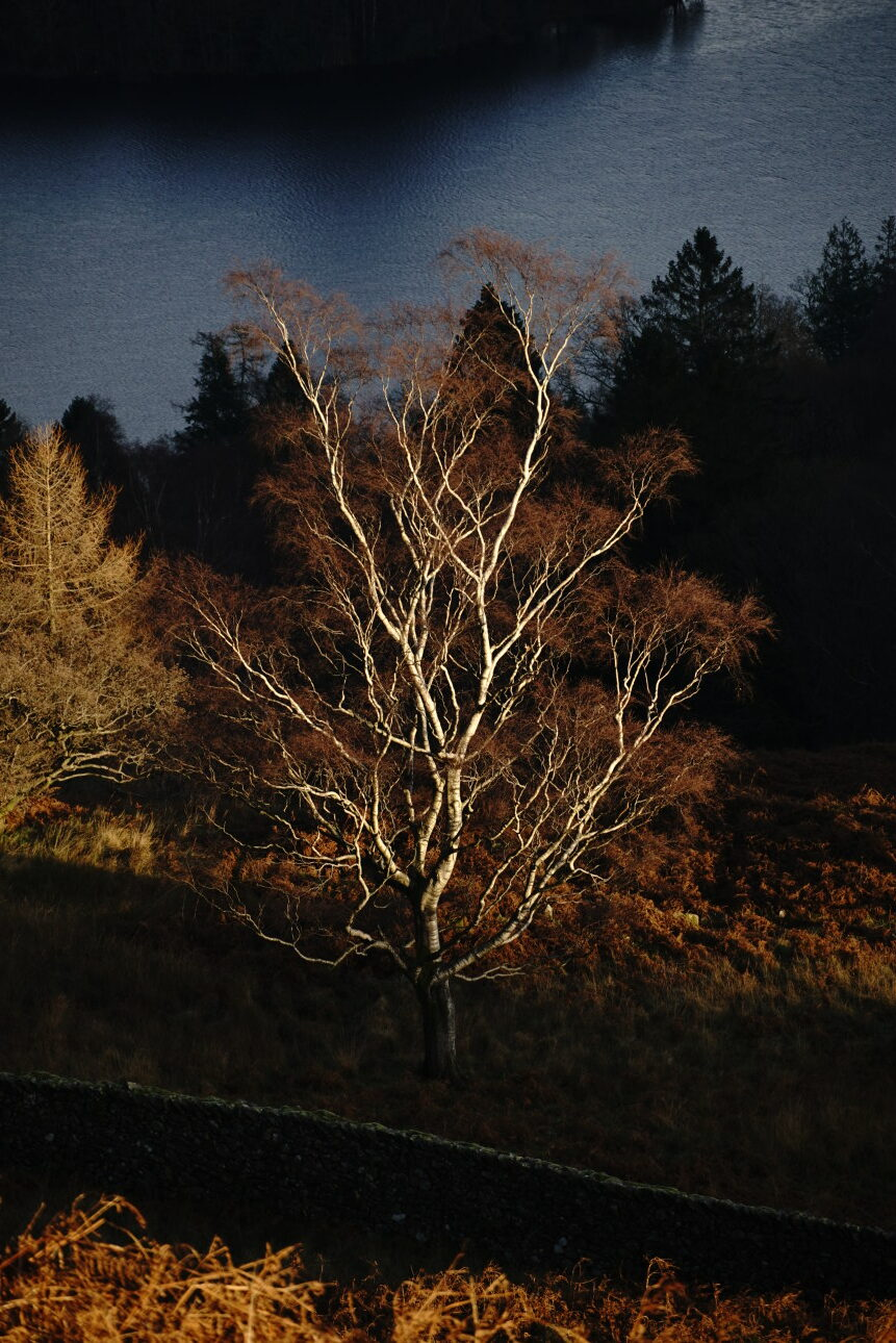 Silver birch above Grasmere. Silver trunk and branches, crimson twigs. Silver birch are my favourite trees. There used to be a massive one behind my home in Little Langdale. I must have spent hours climbing it via its trunk and assorted branches. Taken on 7/12/20 at 2:26 pm.