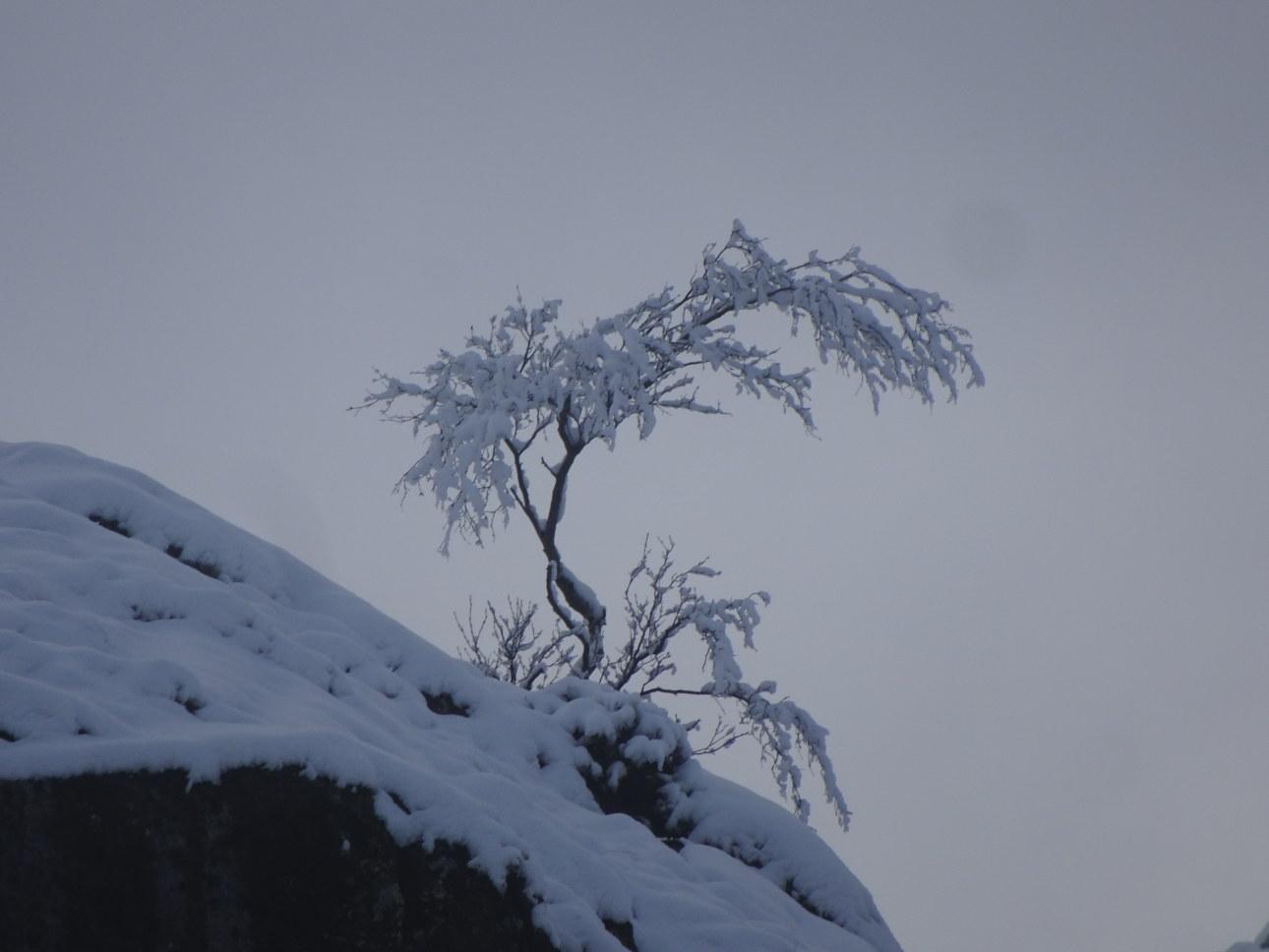 Snow clad rowan on Looking Howe,