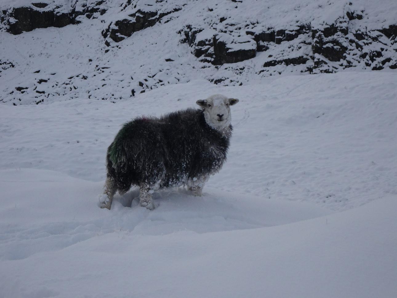 Herdwick in the snow.