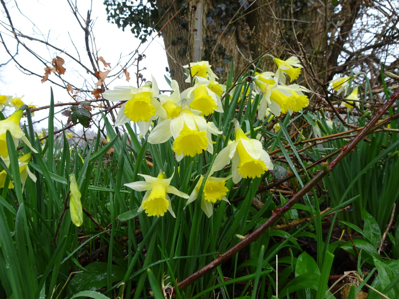 Daffodils in the showers