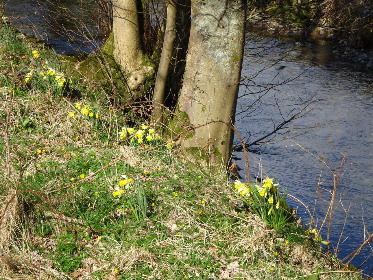 Sunshine and Daffodil