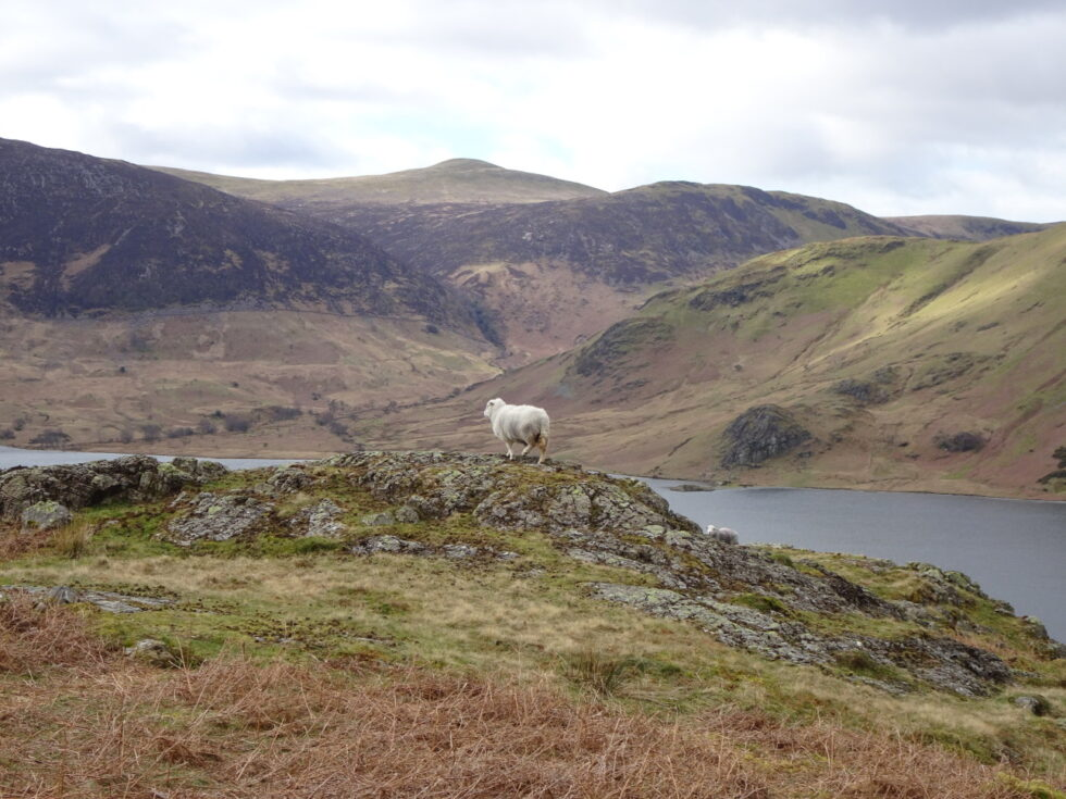 SHEEP WITH CRUMMOCK WATER BELOW AND STARLING DODD SEEN ABOVE AND BEYOND